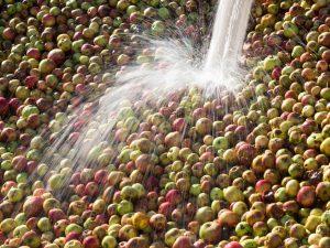Manzanas a punto de entrar al llagar de Sidra Castañon